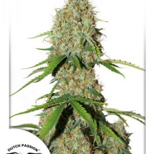 Dutch Passion Auto Brooklyn Sunrise female seeds