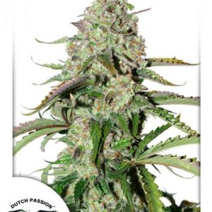 Dutch Passion Auto Colorado Cookies female seeds