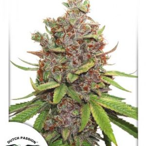 Dutch Passion Auto Glueberry O.G female Seeds