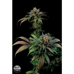 Dinafem Blue Widow female Seeds