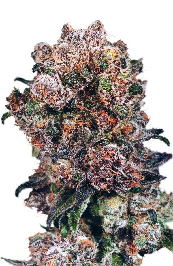 Dutch Passion Blueberry female Seeds