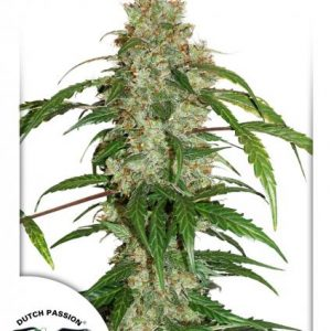 Dutch Passion CBD Auto White Widow female seeds