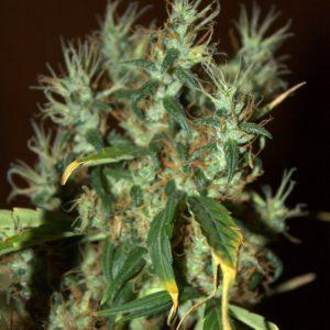 CBD Crew CBD Mango Haze female Seeds