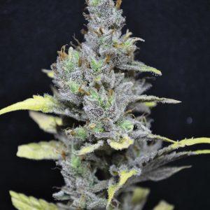 CBD Crew CBD Medi Haze female Seeds