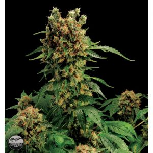 Dinafem California Hash Plant female Seeds
