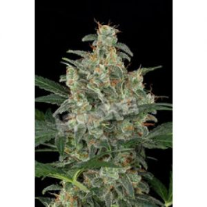 Dinafem Cheese Automatic female Seeds
