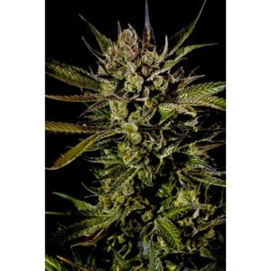 Big Buddha Seeds Cheese female Seeds