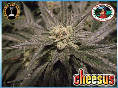 Big Buddha Seeds Cheesus female Seeds