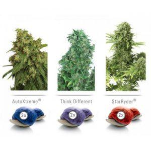 Dutch Passion Colour Mix 7 ' Autoflowering female Seeds