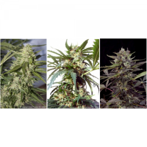 Dutch Passion Colour Mix 6 ' Autoflowering female Seeds