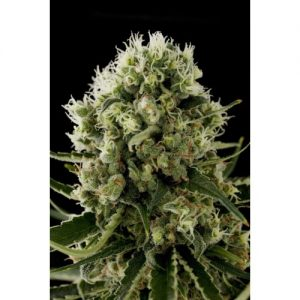 Dinafem Critical Jack female Seeds