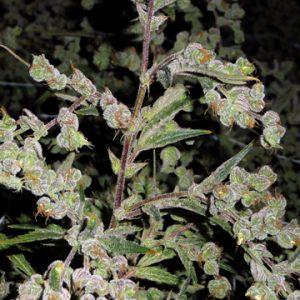 Barney's Farm Dr Grinspoon female Seeds