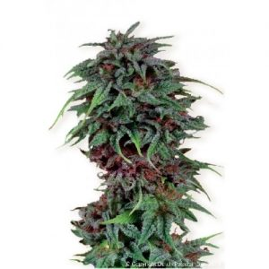 Dutch Passion Durban Poison female Seeds