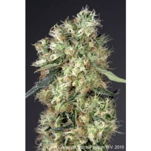Dutch Passion Dutch Haze female Seeds