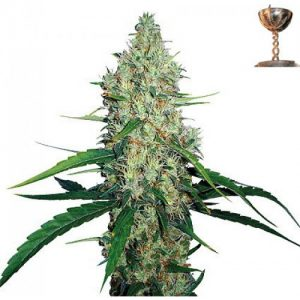 Barney's Farm G13 Haze female Seeds