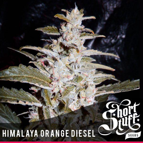 shortstuff seeds Himalaya Orange Diesel female