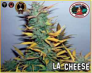 Big Buddha Seeds L.A. Cheese female Seeds