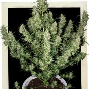 Buddha Seeds Magnum Auto female Seeds