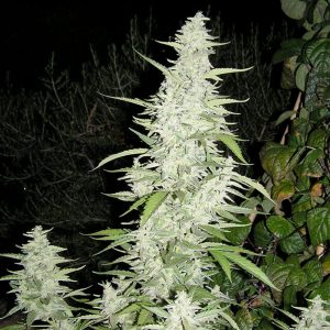 Female seeds company Maroc Seeds