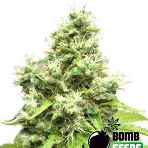 Bomb Seeds Medi Bomb #1