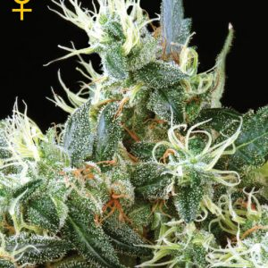 Greenhouse Seed Co. NL Automatic female Seeds