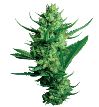 Dutch Passion Night Queen female Seeds