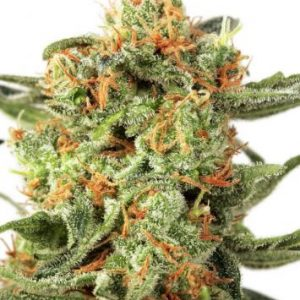 Dutch Passion Orange Hill Special female Seeds