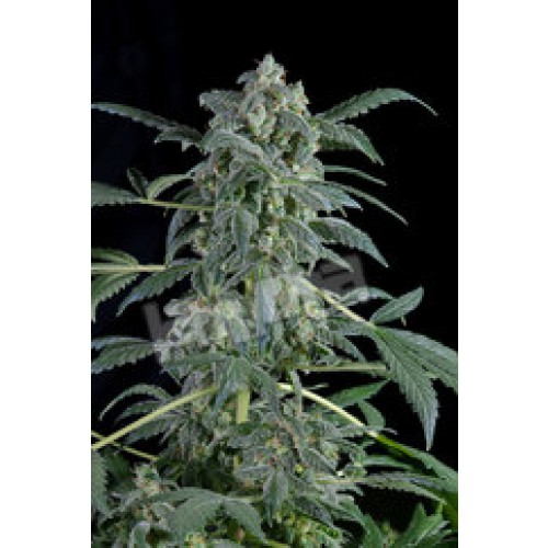 Dinafem Original Amnesia Automatic female Seeds
