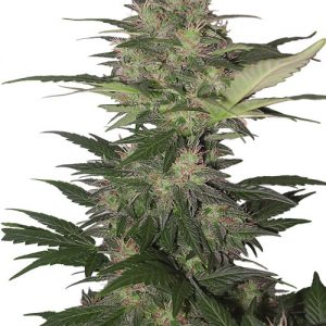 Buddha Seeds Red Dwarf Auto female Seeds