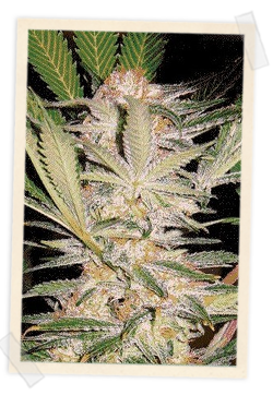 Sweet Seeds S.A.D. FAST Version female Seeds