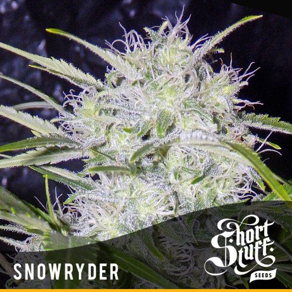shortstuff seeds Snowryder female