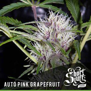 shortstuff seeds Auto Pink Grapefruit female