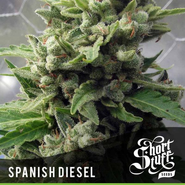 shortstuff seeds Auto Spanish Diesel female