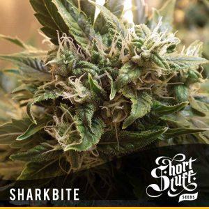 shortstuff seeds Sharkbite female