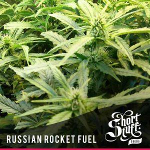 shortstuff seeds Russian rocket fuel female