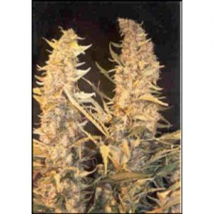 Female seeds company Skunk Special