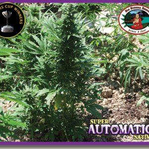 Big Buddha Seeds Super Automatic Sativa female Seeds