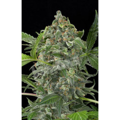 Dinafem White Cheese Automatic female Seeds