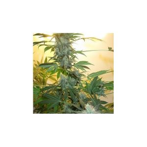 Nirvana Seeds AK48 female Seeds
