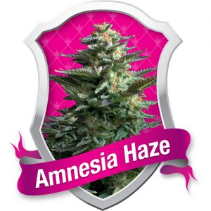 Soma Seeds Amnesia Haze female Seeds