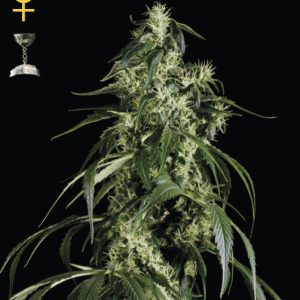 Greenhouse Seed Co. Arjan's Haze #1 female Seeds