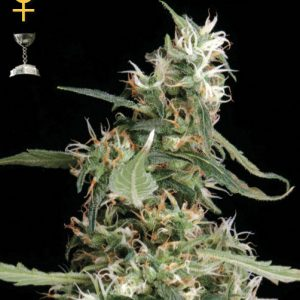 Greenhouse Seed Co. Arjan's Ultra Haze #1 female Seeds