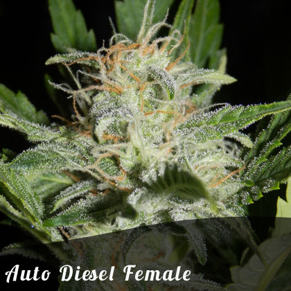 Discount Female Seeds Auto Diesel female seeds