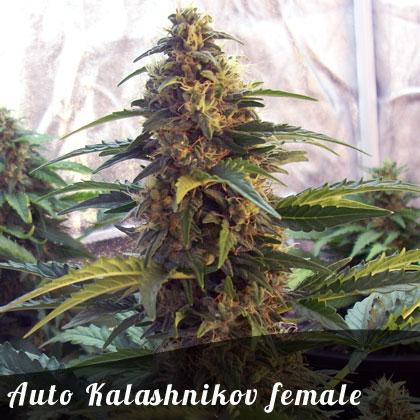 Bulk Seeds Auto Kalashnikov female seeds