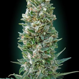 Advanced Seeds Auto Heavy Bud female seeds