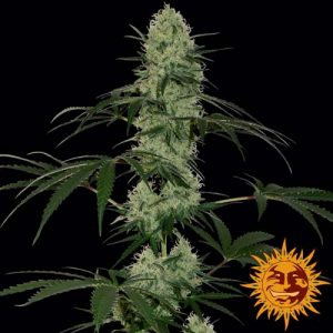 Barney's Farm Tangerine dream auto female seeds