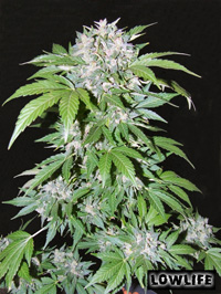 Serious Seeds AK47 female seeds