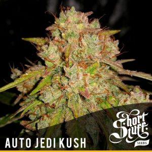 Shortstuff seeds Auto Jedi Kush female
