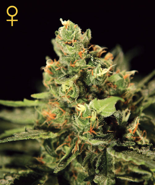 Greenhouse Seed Co. Big Bang Auto-flowering female Seeds
