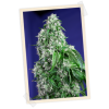 Sweet Seeds Big Foot female Seeds